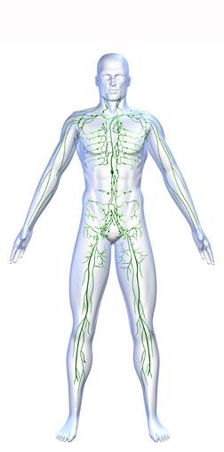 .jpg - Лимфатическая система как отдельный орган