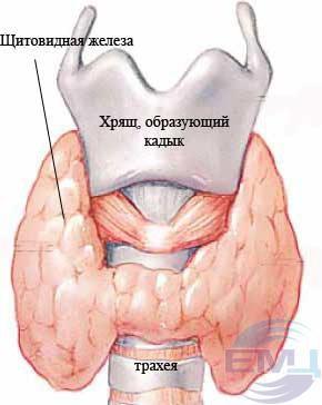 1 - Щитовидная железа
