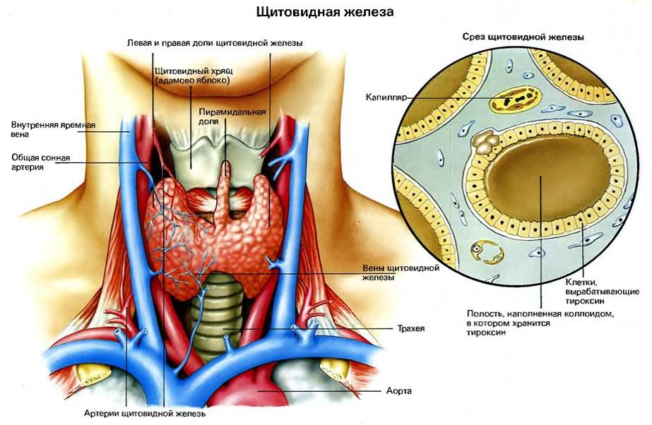 2 - Щитовидная железа