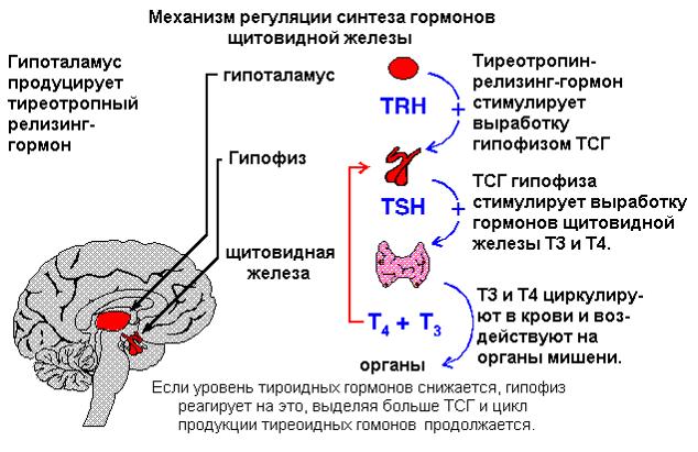 5 - Щитовидная железа