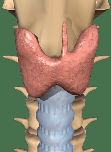 7 - Щитовидная железа