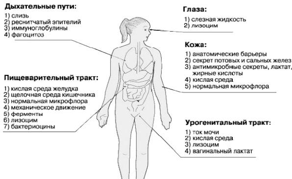 механизмы иммунитета - Здоровый иммунитет