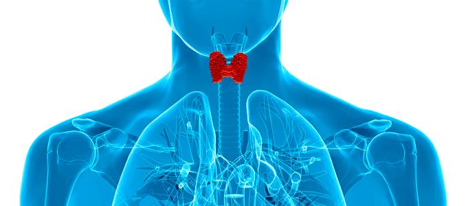 Строение щитовидной железы и ее функционал